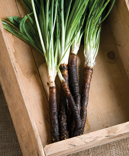 Freshly harvested scorzonera roots with their tops still attached, a formerly common sight in cold-season root cellars.