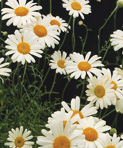 Pyrethrum plants, which can help attract beneficial insects as well as repelling pest species.