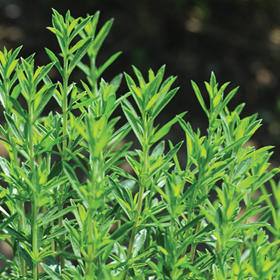 How to Grow Winter Savory
