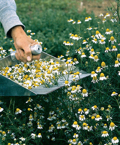 A field of common chamomile flowers being raked for drying and later use in teas, potpourri, or herbal compounds.