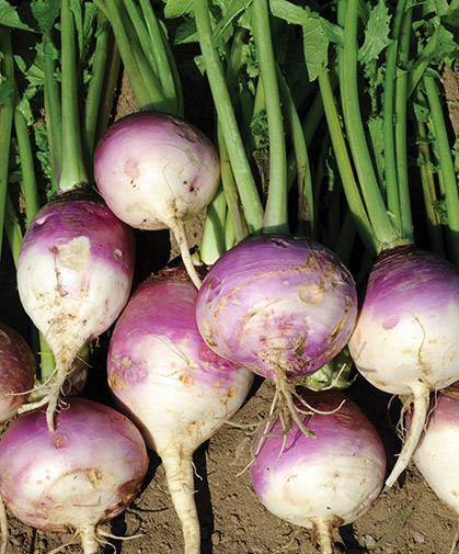 A planting of Purple Top Forage Turnips such as these can help break up the soil and sustain livestock.