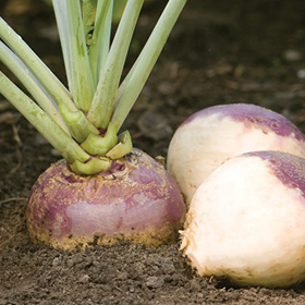 How to Grow Rutabaga