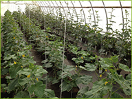 Trellised greenhouse cucumbers