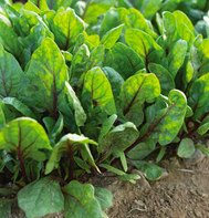 Red Tabby Spinach Seeds
