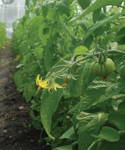 A branch of greenhouse tomato flowers, beginning to set fruits on sturdy, knuckle-shaped peduncles.