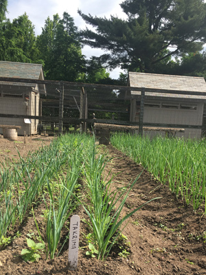 These Takrima leeks will be ready for harvest come fall.
