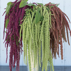 How to Grow Amaranthus