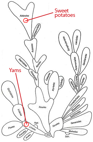Bessey's cactus showing speciation relationship between yams and sweet potatoes