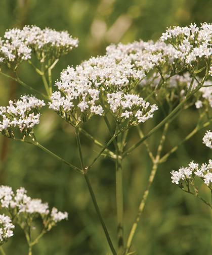 Valerian plant in bloom; any average, well-drained soil will suffice, in full sun to part shade; this extremely cold-hardy herb makes few demands.