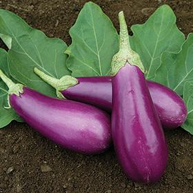 Bulk Eggplant Seed