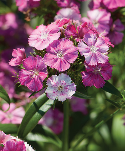 A stalk of dianthus, also known as sweet William, known for its characteristically spicy fragrance.
