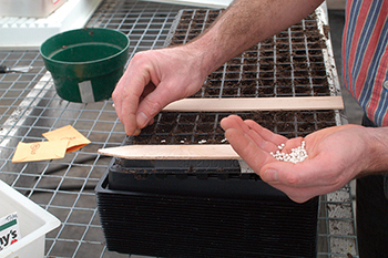 Pelleting lettuce seeds makes them easier to handle and sow, and in some cases, assists germination.