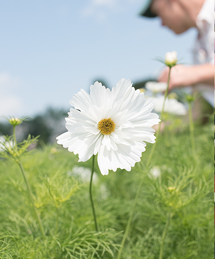 A pristine 'Fizzy White' cosmos bloom raises its head above the foliage and buds of its bed fellows below.