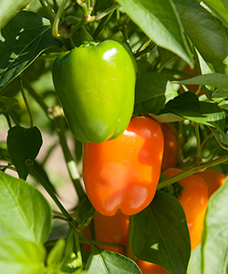Eros Organic (F1) Pepper