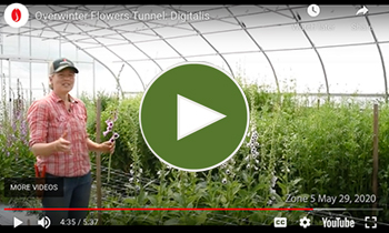 View Our Overwinter Flower Tunnel Digitalis/Foxglove Video