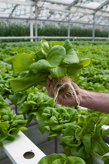 Hydroponic butterhead/Boston lettuce can be quickly grown and brought to local markets across the cooler months of the year