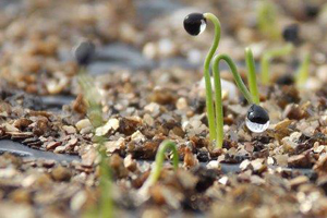 Seedlings started in flats at our research farm in Albion, Maine