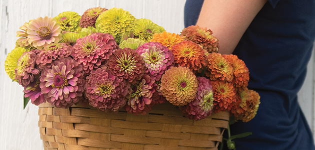 Queen Lime Zinnia Series - Easy workhorse flower