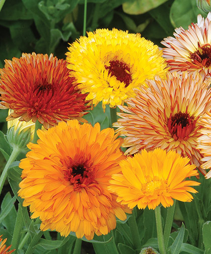 Calendula blooms, prized for their beauty, as well as culinary and medicinal uses.