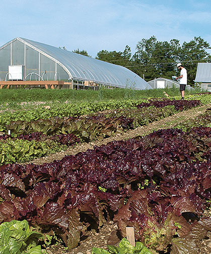 Lettuce trials being evaluated at our research farm; pelleted seed is available for many of our lettuce varieties.