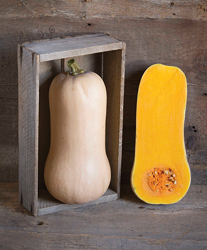 Butternut winter squash fruits; this variety is 'Waldo,' an intermediate, Johnny's bred variety.