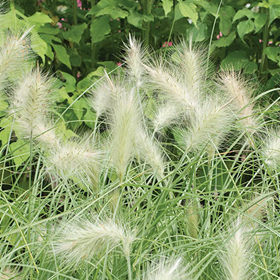 How to Grow Feathertop Ornamental Grass
