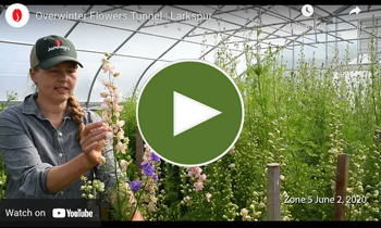 View Our Overwinter Flower Tunnel Larkspur Video