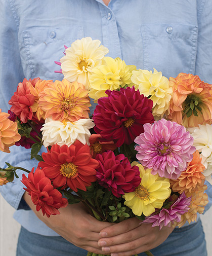 A bouquet of 'Giant Hybrid Mix' dahlia flowers, a group suitable for cutting or borders.