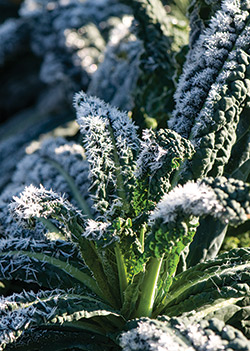 Frost-kissed Kale
