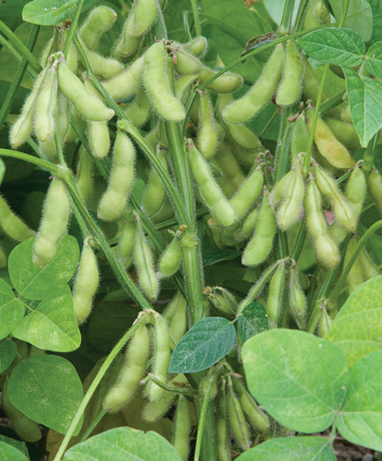 This variety of soy beans is delicious when eaten fresh as edamame.