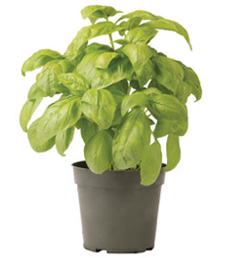 Container-grown Dolly Basil Plant
