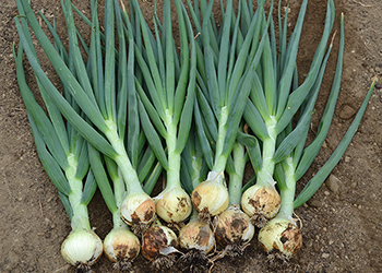 Bridger : Winner of our overwintering onion trial