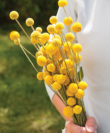 Craspedia, with its wooly, lemony bright, globe-shaped flowers, will bloom all summer in any warm, sunny spot.