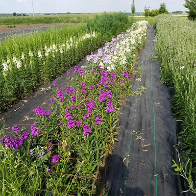 Matthiola, one of the quickest cut flowers for shoulder-season production.