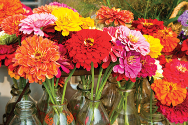 Zinnias are diverse & versatile
