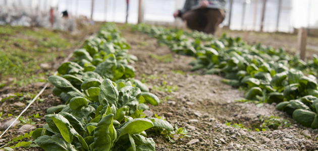Spinach Planting Program