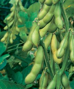 Butterbeans Organic Soybean