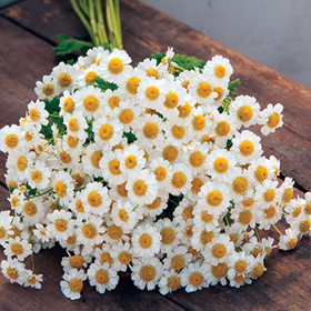 How to Grow Feverfew aka Matricaria (Tanacetum parthenium)