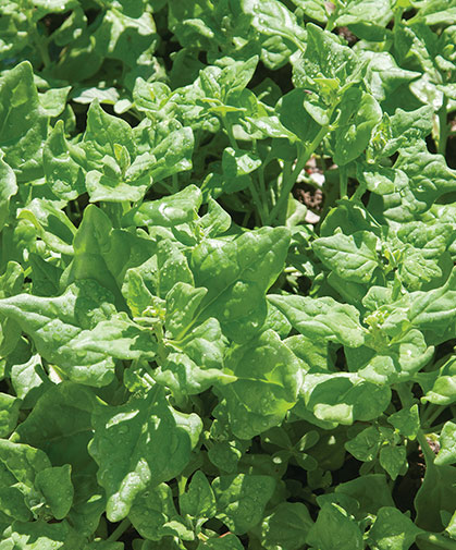 Tetragonia, or New Zealand spinach, a heat-tolerant crop for the high-summer salad garden.