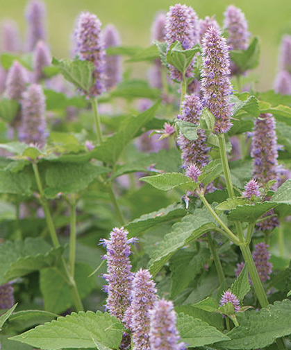 Anise hyssop's erect branches of mint-&-licorice-scented leaves end in fuzzy spikes of small, edible, lavender flowers.
