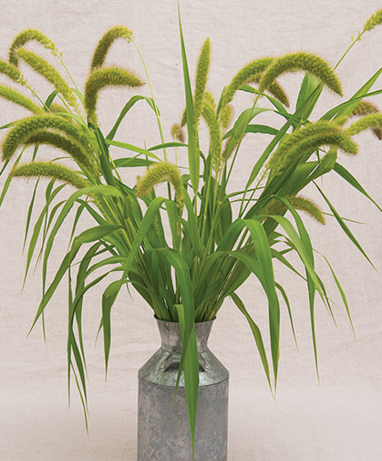 Mature stalks of foxtail millet, a tall, easy-to-grow ornamental grass with fluffy seed heads that attract wildlife to the landscape.