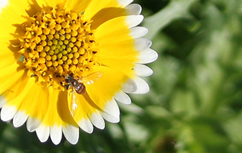 Adult hover fly
