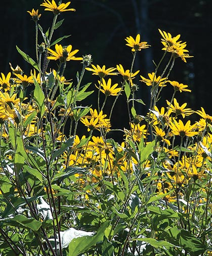 A patch of bright yellow Jerusalem artichoke flowers; the plants can reach 610 feet in height.