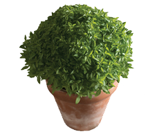 Container-grown Spicy Bush Basil Plant