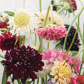 How to Grow Scabiosa (Pincushion Flower)