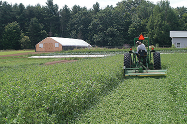 Chopping the Spring Green Manure Mix