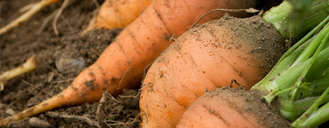 Carrot Season Extension - How to Expand Your Harvest Window