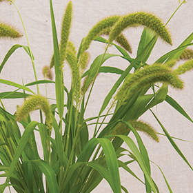 How to Grow Foxtail Millet Ornamental Grass