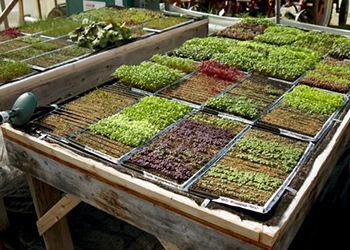 Year Round Microgreens Production For Profit Johnny S
