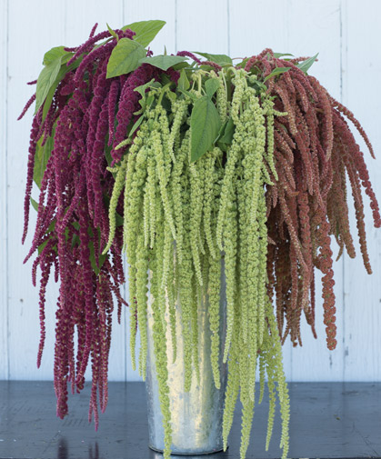 Three types of amaranthus, with trailing spikes of blooms.